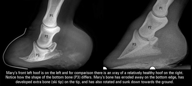chronic laminitis - xray