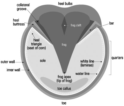 Barefoot hoof diagrams - Detailed barefoot hoof diagrams showing ...