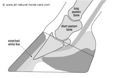 Side view diagram of a horse hoof with laminitis
