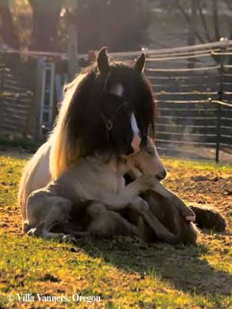 adorable gypsy vanner foal - Coloring Pages Horses Foals