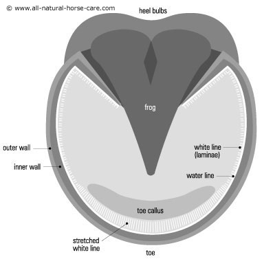 Diagram of horse hoof with stretched white line (laminitis)