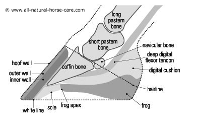 Side view diagram of a healthy horse hoof