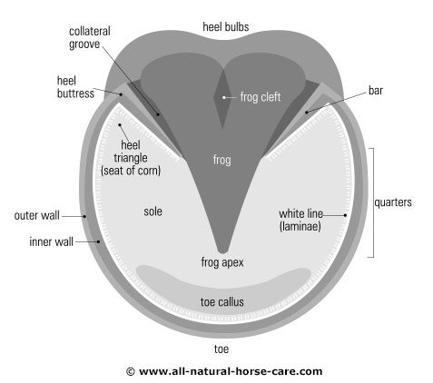 Hoof diagram - sole view, front hoof