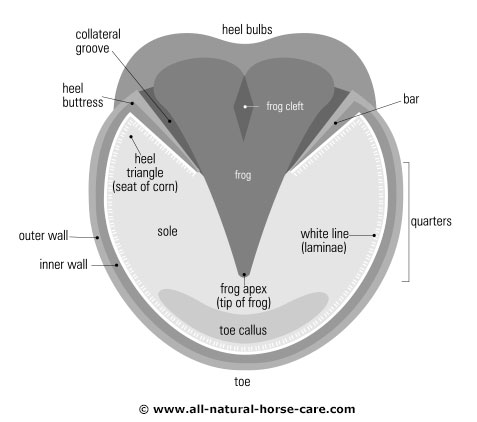 Hoof diagram - sole view, rear hoof
