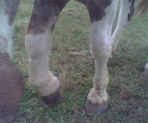 horse with hoof abscess and resultant swollen leg